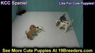 Cavalier King Charles Spaniel, Puppies, For, Sale, In, Albuquerque, New Mexico, Nm, Gallup, Carlsbad