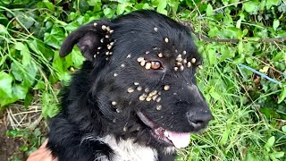 Rescue of abandoned dog with ticks tied up with a rope