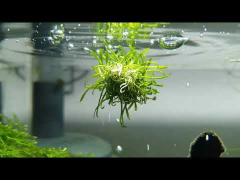 Cryptocoryne parva, the floating plant