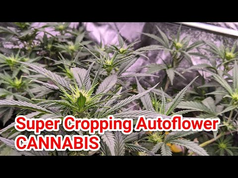 SUPER CROPPING AUTOFLOWER CANNABIS EXPERIMENT