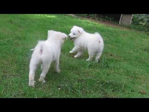 spitz puppies/funny fighting/indian spitz/cute video/cute pets/german spitz/japanese spitz