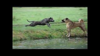 Kangal vs Cane Corso