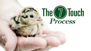 Gisi Pheasant Farms Web Video: 7 Touch Process