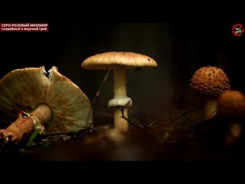 Серо-розовый мухомор - гриб вкусный и съедобный, хоть и мухомор, Amanita rubescens