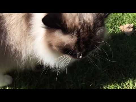 Ragdoll Cat Charlie Outside Meowing - Cat Meowing ALWAYS - Floppycats