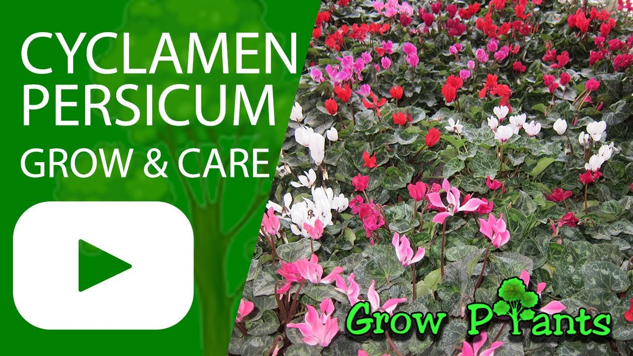 Comment Arroser Un Cyclamen Cyclamen Persicum Flower Growing And Care
