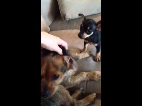 Jealous chihuahua pup