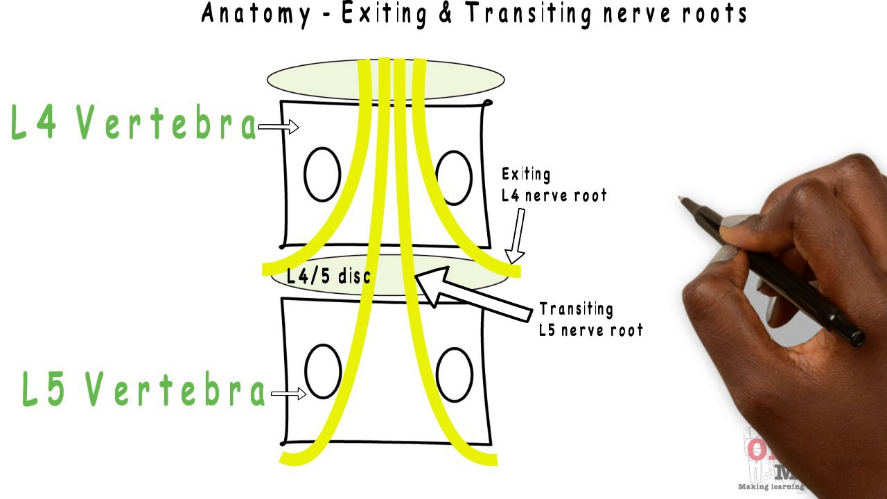 Lumbar Nerve Root Diagram Shark Respiratory System Basic Sciences Exiting Transiting Roots Youtube