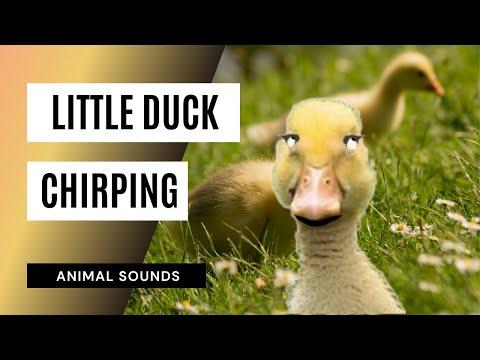 Maestro/Western Rivers Duck & Mallard Calls