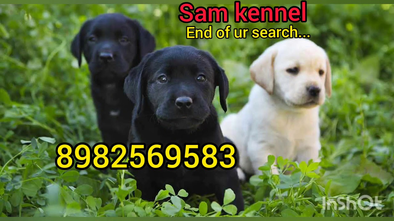 Cheapest Labrador In Only 5000 Rupees In Indore At Sam Kennel Youtube
