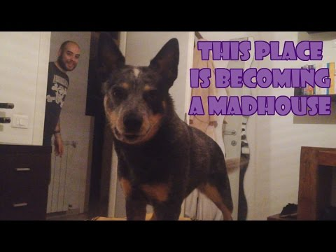 crazy australian cattle dog - it's time to play and run