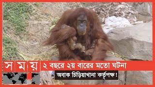 যুক্তরাষ্ট্রের চিড়িয়াখানায় জন্ম নিয়েছে বিলুপ্ত প্রজাতির ওরাংওটাং | Orangutan | New Orleans Zoo