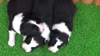 ボーダーコリーの子犬です。 お誕生日 2013年5月19日 ブラック&ホワイ...