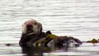 Sea Otter in Morro Bay - San Luis Obispo County, California
