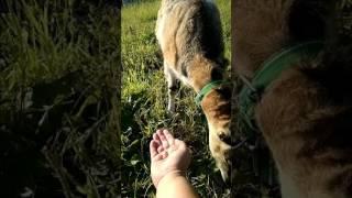 Уникальные ламанча козы
