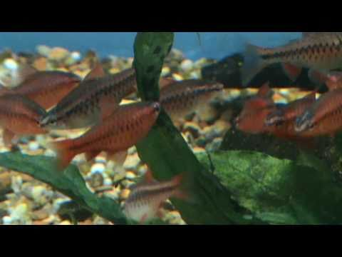 Cherry barb (Puntius Titteya) for sale at Tyne Valley Aquatics