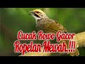 Masteran Burung Cucak Rowo Gacor  Mp3 - Mp4 Download