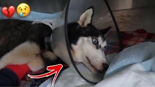 محاولة انقاذ كلبتي لوسي من الموت بعد هجوم كلاب شرسة عليها !! دعواتكم????????