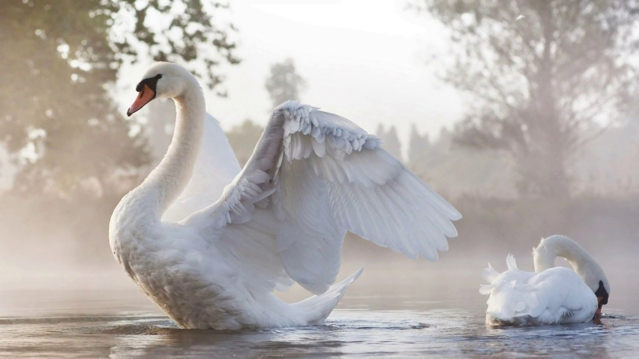 Fall Feather Wallpaper Andr 233 Rieu Le Cygne Youtube