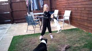 Staffy Puppy With Lockjaw
