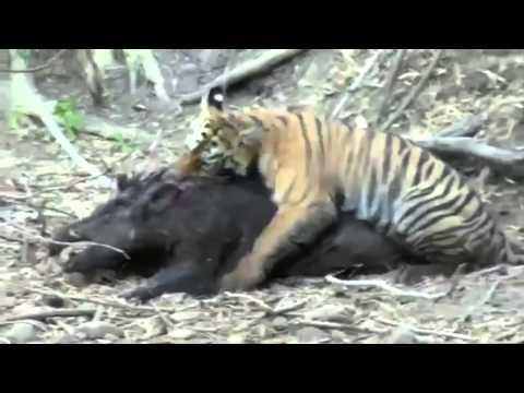Tigre Caza a Enorme Jabalí