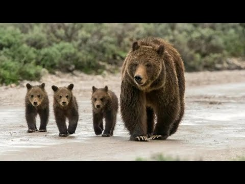 Judge halts decision to allow grizzly bear hunting in Wyoming, Idaho