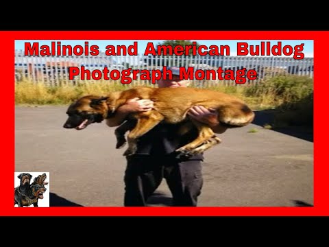 A Malinois, a GSD and an American Bulldog ... Photos