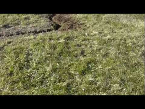 Oscar the German Shorthaired Pointer hunting a mole…and digging a trench!