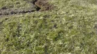 Oscar The German Shorthaired Pointer Hunting A Mole...and Digging A Trench!