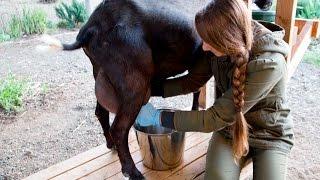 Milking Backyard Goats