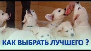 """""""Как выбрать лучшего щенка в помете?"""" - почему этот вопрос не имеет однозначного ответа."""