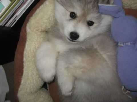 Popular Cute Husky Puppy Playing - Miniature Siberian Husky Puppies - YouTube SY34