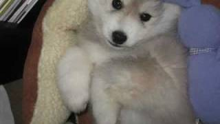 Cute Husky Puppy Playing - Miniature Siberian Husky Puppies
