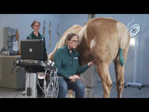 How To Ultrasound The Equine Stifle Joint