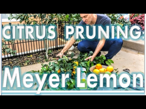 'Improved Meyer' Lemon Tree (YEAR 2) - Pruning Tips by IV Organic 3-in-1 Plant Guard
