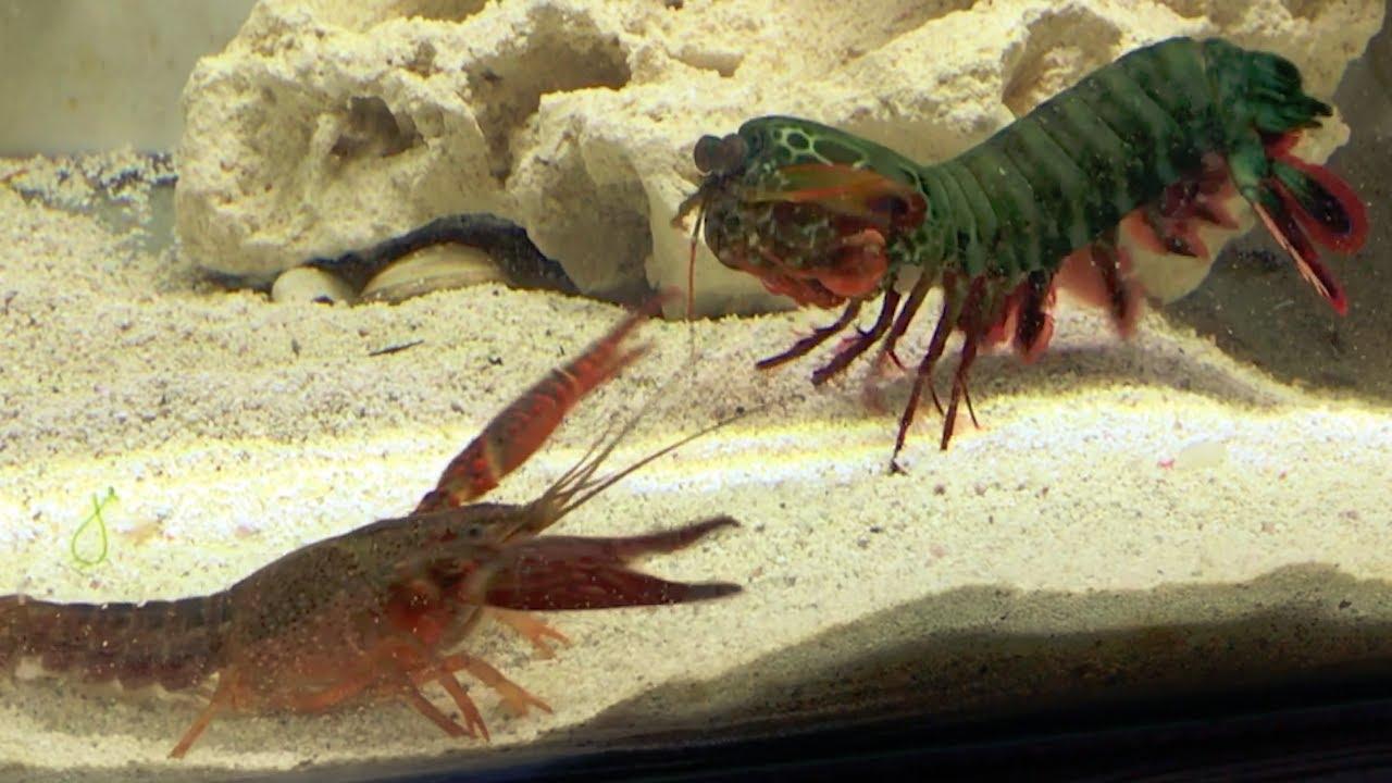 Download Giant Mantis Shrimp VS Invasive Crayfish   Catch & Feed