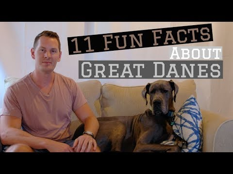 11 Fun Facts about Great Danes