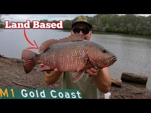 Land Based Mangrove Jack Fishing Gold Coast | Part 2 | LIVE BAITING MULLET