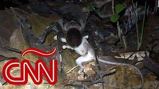 Mira a esta tarántula gigante que mató a una zarigüeya