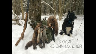 Охота на белку с лайкой в один из зимних дней
