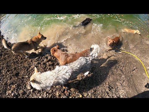 ВОЛКИ С ПИТбулями КУПАЮТСЯ !!! Банда гуляет по новой территории !!! Банда на озере!