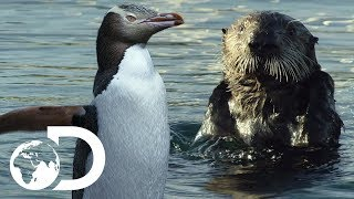 The Mating Rituals Of Penguins And Otters | Big Pacific