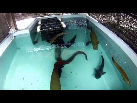 (130cm)オオウナギ混泳水槽☆水中動画!Anguilla marmorata