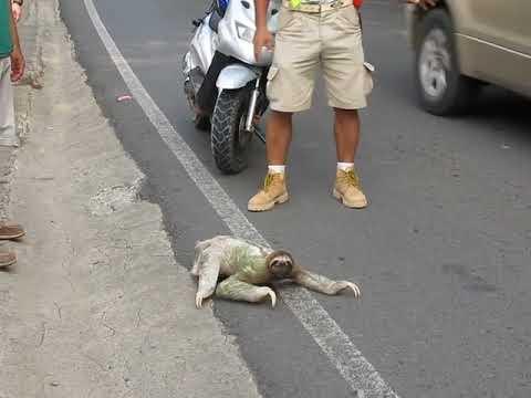 Three-Toed Sloth Crosses Road in Costa Rica - 631960