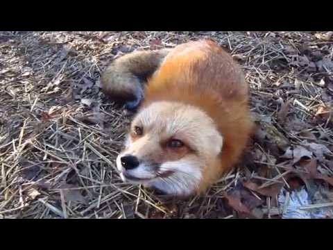 Веселый лис - Новые приколы за март 2017