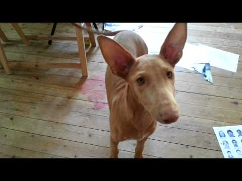 Life in France: Meet my puppy Pharaoh Hound dog and Cat Soleil