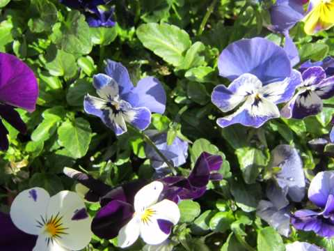 How to Care for  Viola Flowers