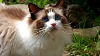 Порода кошек. Рэгдолл (тряпичная кукла).Уникальная порода