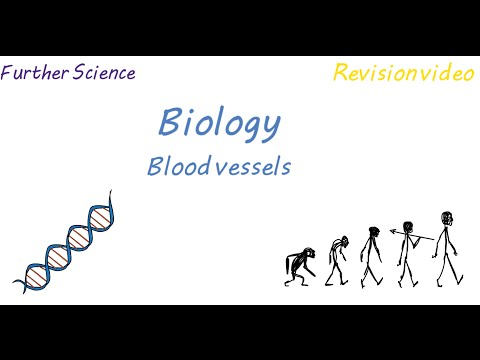 B3: Blood Vessels (Revision)