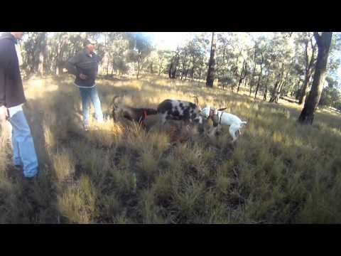 Piggin South East QLD